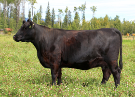 Cattle Pedigree at Canyon Tree Farms Inc