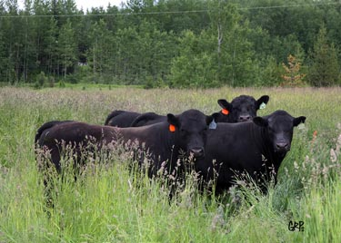 Canyon Tree Farms Philosophy - Angus Bull Breeder